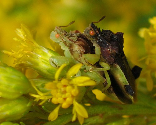 Jagged Ambush bugs on Goldenrod