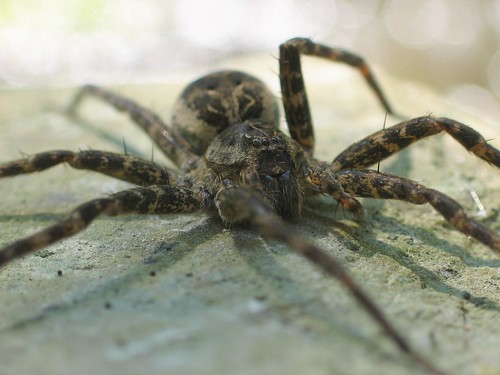 Fishing spider frontal view