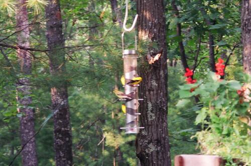 amergoldfinches