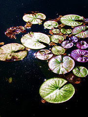the secret world of lily pads