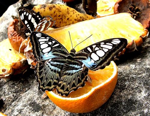 ButterflyFruit