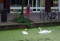 swans in Delft