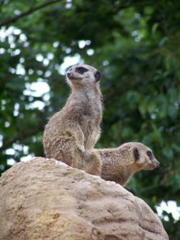 meerkats UP