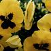 Luscious Yellow 1600x1200
