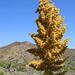 Yucca Bloom (3)