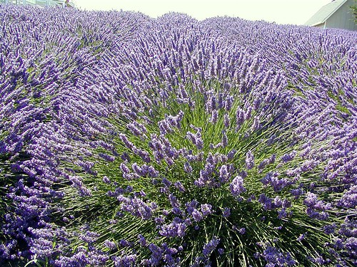 Sequim Lavender