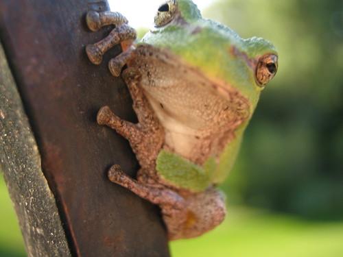 Daytime Tree Frog 4