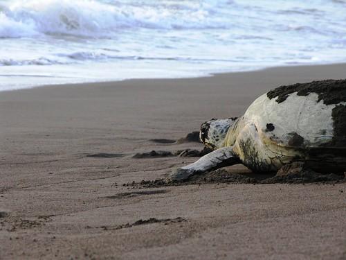 Tartaruga regressando ao mar depois da desova