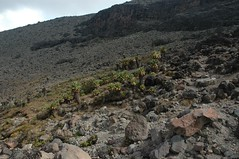 Die bomen zijn enkel te vinden op de Kilimanjaro