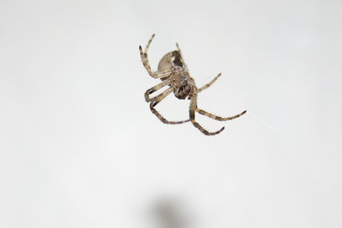 Hungarian Macro Spider
