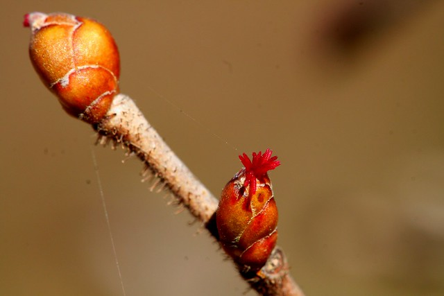 female flower of hazel 3