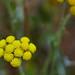 Helichrysum stoechas - Photo (c) Panegyrics of Granovetter, algunos derechos reservados (CC BY-SA)
