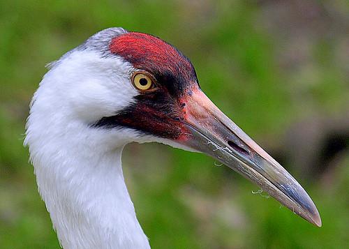 portrait bird closeup florida head whoopingcrane grusamericana featheryfriday aswpix specanimal homosassaspringswildlifestatepark avianexcellence