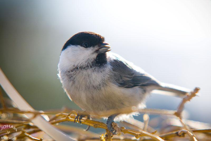 minifågel