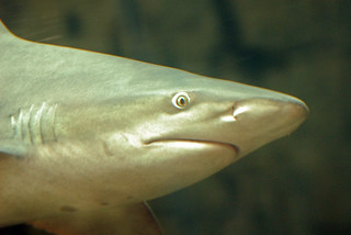 Bull shark upclose | by Shoeless Joe/64
