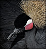 Crowned Crane by twoblueday