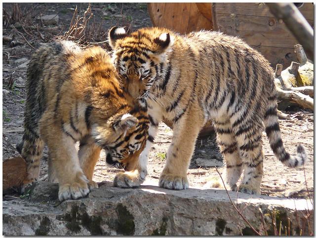 ~Amur Tiger Cubs @ Buffalo Zoo~