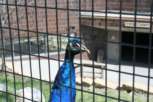 Peacock Behind Fence | by A. Dawson
