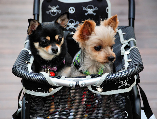 Cute Small Dogs - Odaiba
