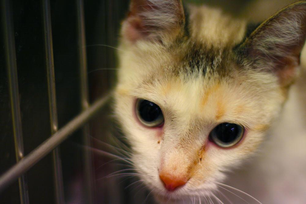 adopt cat