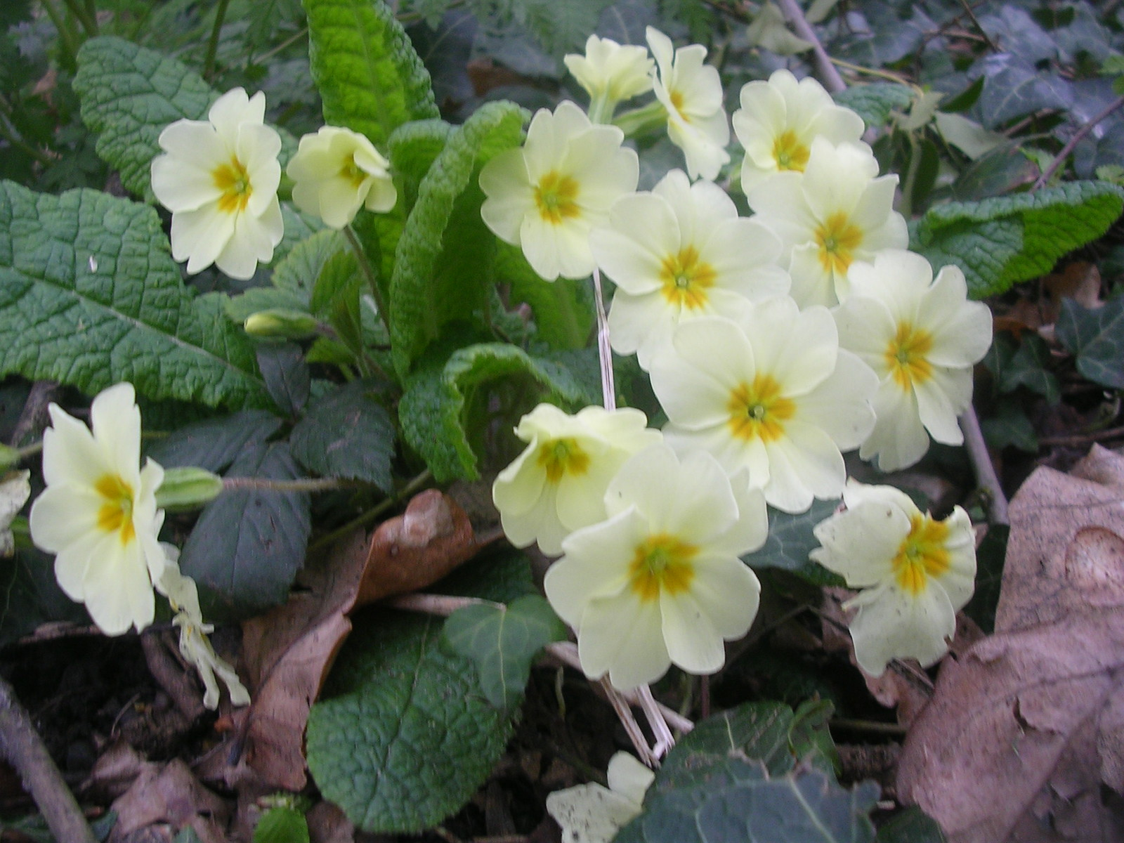Primrose Upper Warlingham to Hayes