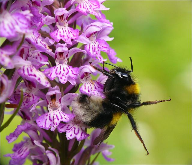 Drunken bumblebee