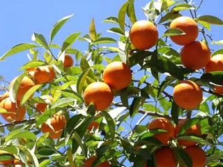 Citrus~ Everhard Orange | by littlegemtrees