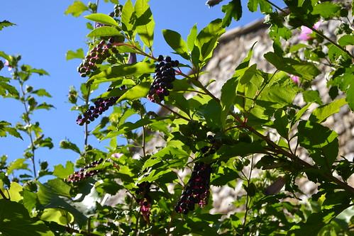 Phytolacca americana - raisin d'Amérique 32123468143_580b5c85cd