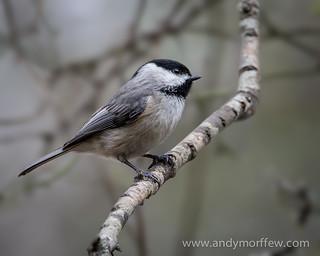 Carolina Chickadee | by Andy Morffew