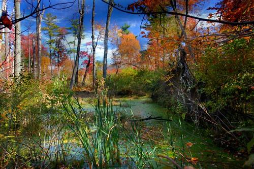 autumn color fall newengland swamp scum liight