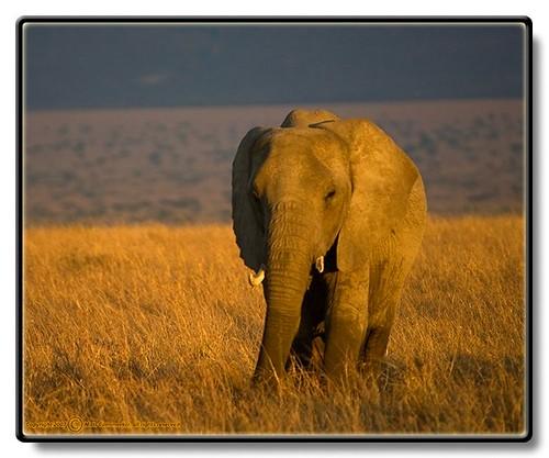 africa wild elephant fauna kenya ken places safari afrika elefant mammals africanelephant riftvalley loxodontaafricana masaimaranationalreserve maasaimaranationalreserve däggdjur bfgreatesthits afrikanskelefant