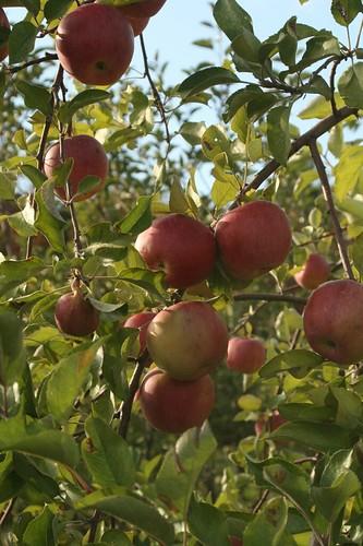 apples | by djprybyl