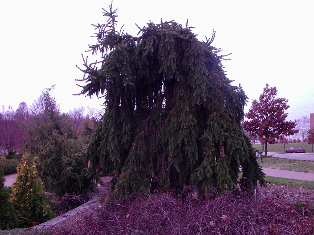 Picea Abies F Pendula Weeping Norway Spruce Chosen For Th
