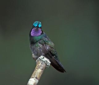 Purple-throated Mountain-gem, male   by Pia's birdseye view