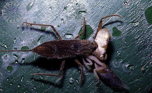 Water Scorpion Eating Tadpoles, Burma 1997 | by public.resource.org