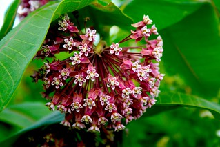 Common milkweed at Fort Custer | by JacobEnos