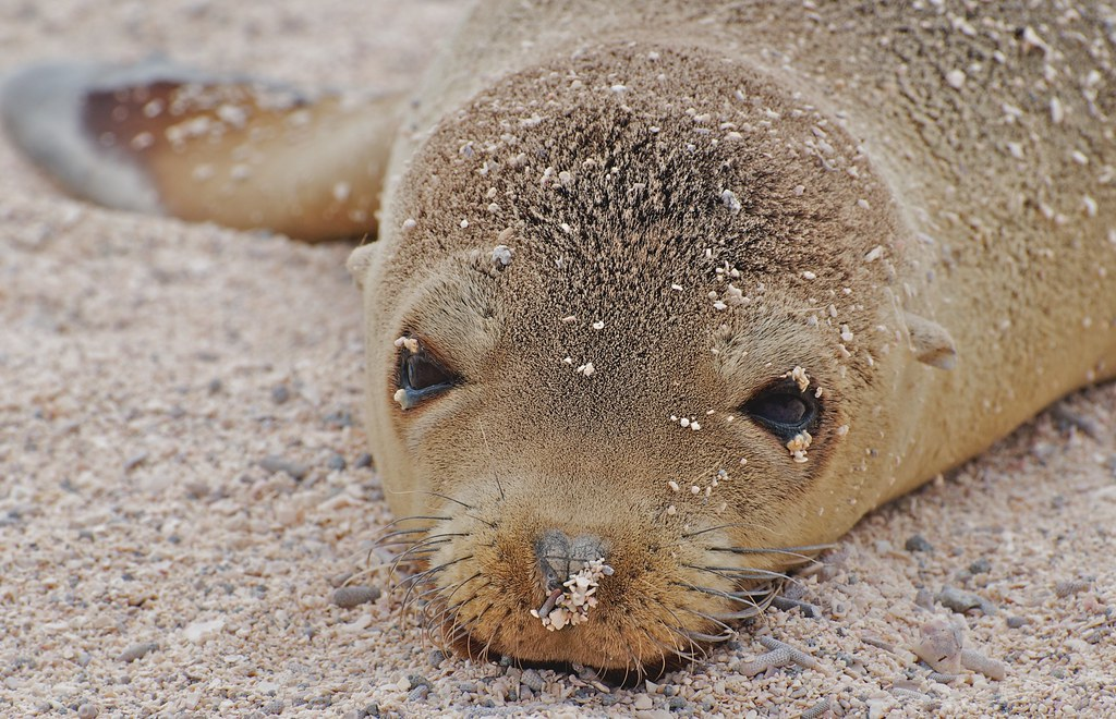 Galapagos Sea Lion's Baby Portrait