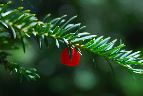 Taxus baccata | by Eric Hunt.