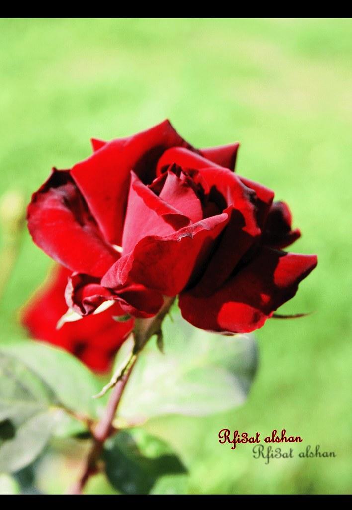 زرعتك وردة حمرا تزين كل بستاني ودفنت القلب في تربة مش Flickr