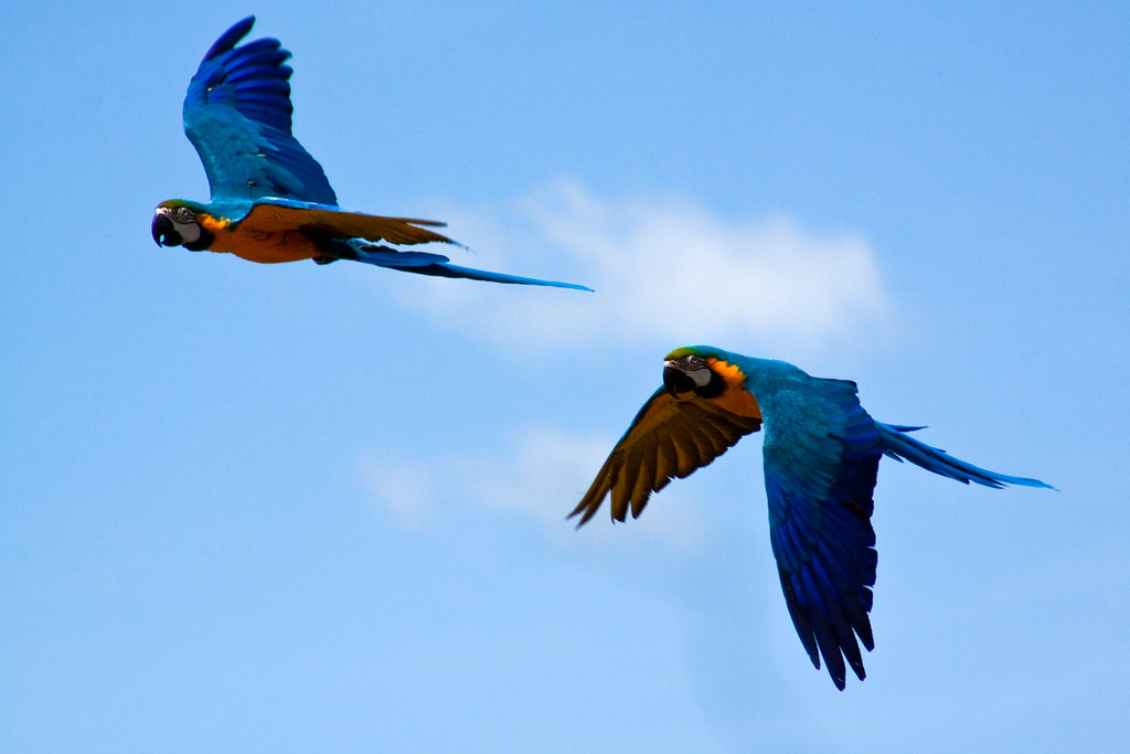 Parrot Flying Session - Amazing: Blue and Gold Macaw Flies ... |Blue Macaw Parrot Flying
