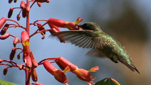 Hummingbird and Red Buckeye | by cell911