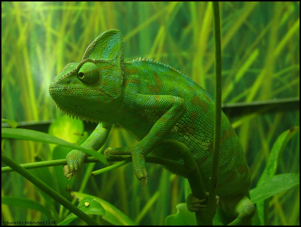 yemen chameleon  latin  scientific name chamaeleo