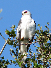 White-Tailed Kite   by sgrace