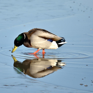 Mallard Reflects... | by 42jph