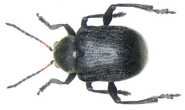 Bromius obscurus (Linné, 1758)