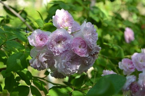 rosier 'Laure Davoust' 32842734636_ce3c6038fd