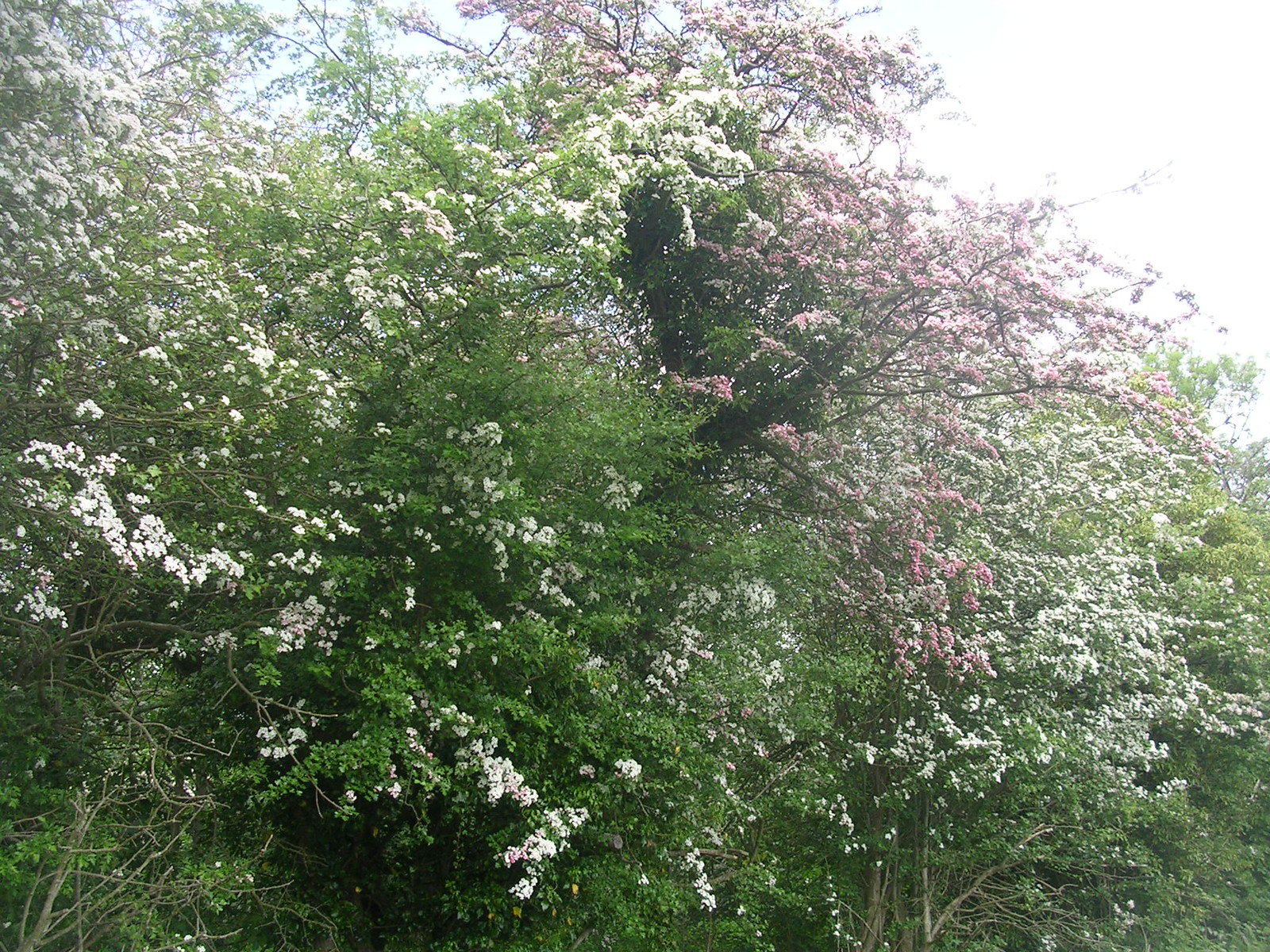 Pink and white hawthorn Hever to Leigh Hever to Leigh