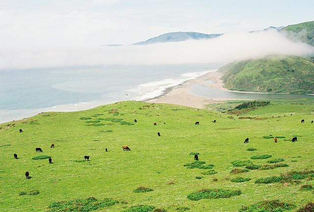 Lost Coast Cows