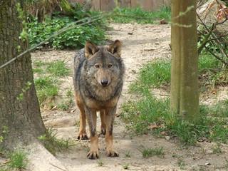 The Iberian Wolf | by Gérard Van Drunen