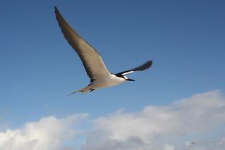 Sooty in Flight | by angrysunbird